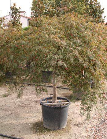 Acer palmatum 'Dissectum Inaba Shidare'
