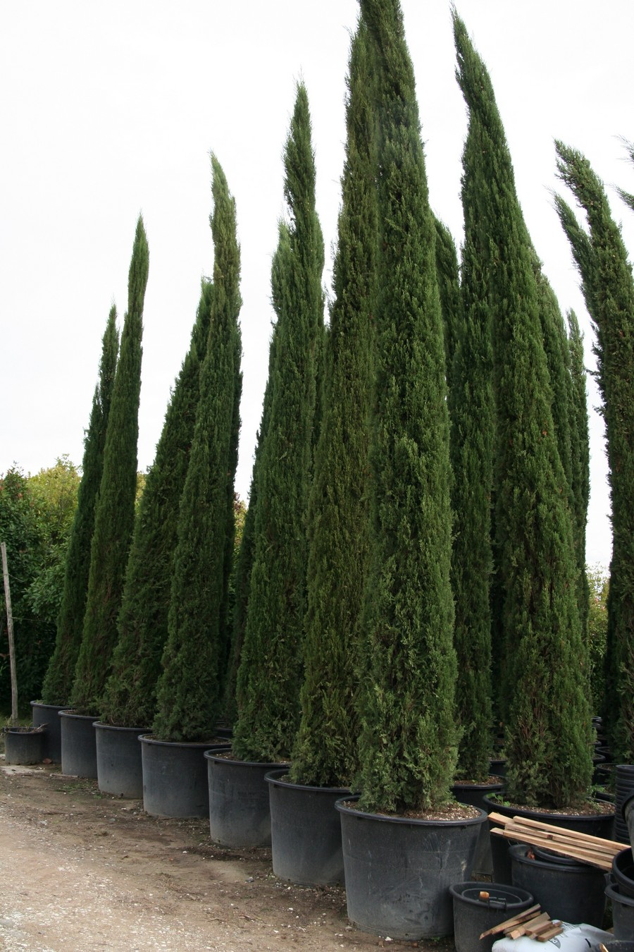 cupressus sempervirens 39 pyramidalis 39 vivai piante bani. Black Bedroom Furniture Sets. Home Design Ideas