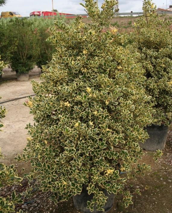 Ilex aquifolium 'Argenteomarginata'