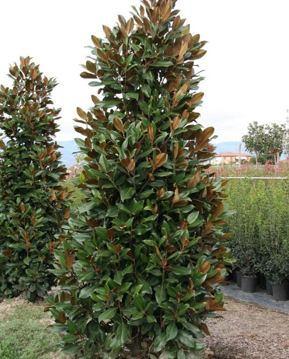 Magnolia grandiflora 'Gallissoniensis'