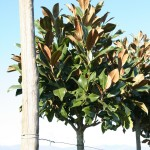 Magnolia grandiflora 'Gallissoniensis' ALBERETTO