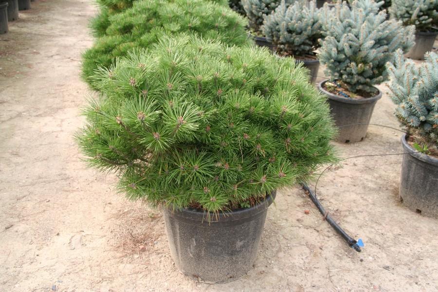 Pinus nigra nano