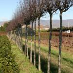 Prunus cerasifera 'Nigra' (Pissardii'