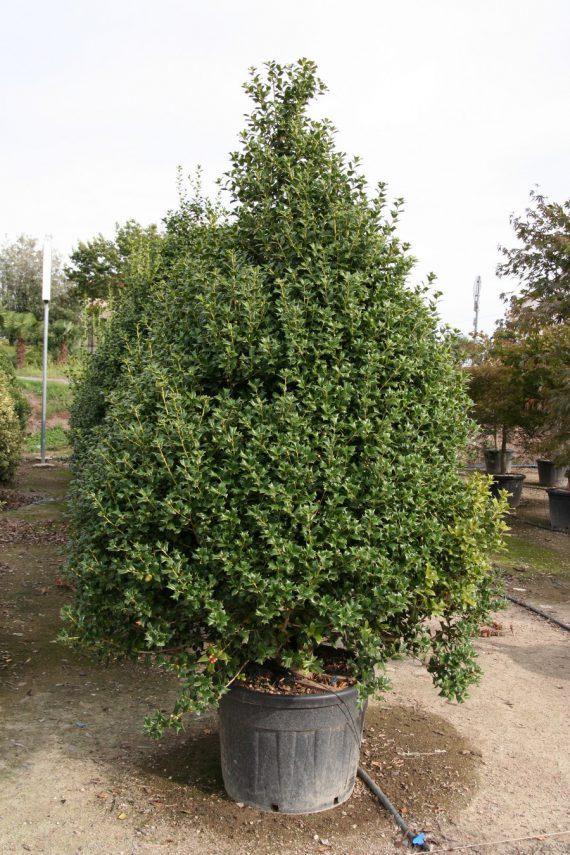 Ilex aquifolium Cornuta