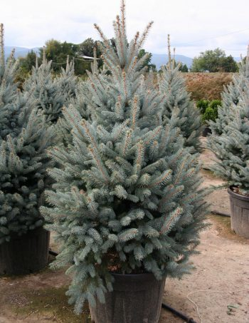 Picea pungens 'Glauca Fat Albert'